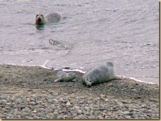 Harbor Seal and Pup2