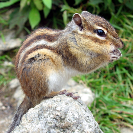 4 by 4 chipmunk puzzle