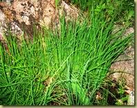 Gressløk - Chives - Allium schoenoprasum