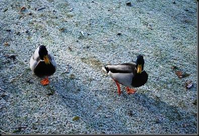 Østensjøvannet -andrikker på rim