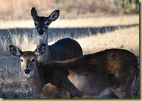 Lago Vista - dec 9 2010 - Deers overall 1