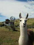 Llama, El Chalten