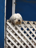 This dog is STANDING up, he could also move along the fence while still standing... very talented