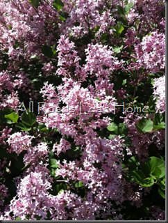 Lilacs Iphone4