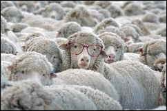 sheep w glasses