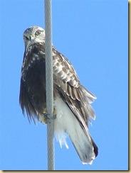 eagle marsh, feb 1, 09 (4) (Medium)