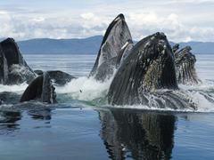 Humpback_Whale_Group_Bubble_Net_Feeding_Chatham_Strait_Alaska_1280x960