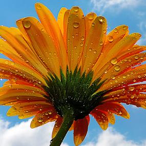 yellow gerber by LADOCKi Elvira - Flowers Single Flower ( nature, color, 2014, plants, flowers, garden, blue, orange. color )