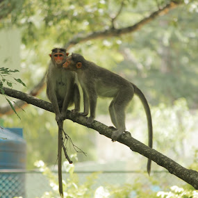 Monkeys in Love by Rajeev Ganesan - Animals Other Mammals ( love, bannerghatta, monkey )