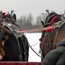Sleigh ride guides! by Réjean Côté - Transportation Other ( winter, horses, hands, snow, sleigh, ridfe, conductors, slide )