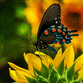 Emporer's clothes by Gary McDaniel - Animals Insects & Spiders ( butterfly, blue, outdoors, sunflower, yellow, insect, flower )