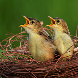 Birds in a nest by Roy Husada - Animals Birds