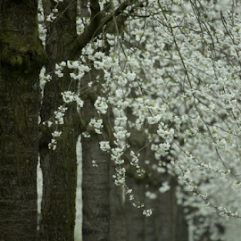 Blossoms by Merina Tjen - Lim - Nature Up Close Trees & Bushes ( tree; white; blossoms; spring; holland )