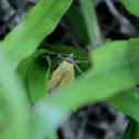 Black-bordered Lemon Moth