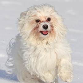 Like a bunny by Mia Ikonen - Animals - Dogs Running ( havanese, action, finland, fun, expressive )