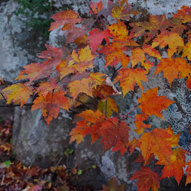 Autumn by Buddy Boyd - Nature Up Close Leaves & Grasses ( autumn, fall, rock, ozarks, maple,  )