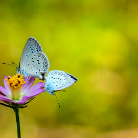 A Couple by Agus Prasetya - Animals Insects & Spiders ( nikon d700, butterfly, macro, animals, flowers )