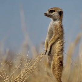 Stokstert meerkat by Mart-Mari Biggs Duvenhage - Animals Other ( wind, grass, alert, wildlife, standing )