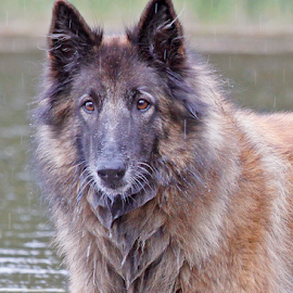 Refreshing by Mia Ikonen - Animals - Dogs Portraits ( water, belgian shepherd tervueren, enjoying, finland, rain )