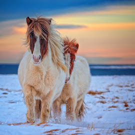 Running for bite of bread. by Gunnlaugur Örn Valsson - Animals Horses ( colour, icelandic, pony, sky, winter, horses, snow, travel, frozen,  )