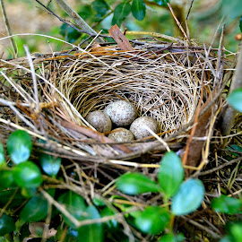 Nest Eggs by Tyrell Heaton - Nature Up Close Hives & Nests ( eggs, greensboro, nc, nest, birds )