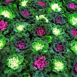 Ornamental cabbage by Asif Bora - Nature Up Close Gardens & Produce (  )
