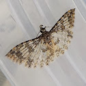 Many-plumed Moth
