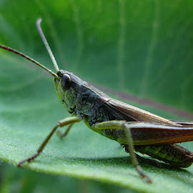 Grasshopper #3 by Norbert Szenográdi - Novices Only Macro (  )