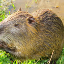 Coypu or Nutria or River rat or Ratão do banhado