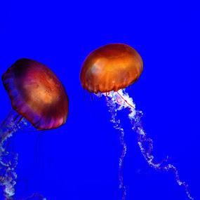 Takin' on the Jellies! by Leigh Frudiger-Vanderland - Animals Fish