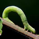 Geometrid caterpillar