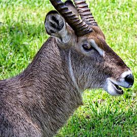 Portrait of a water buck by Sandy Scott - Animals Other ( mammals, african mammals, buck, horned animals, water buck )