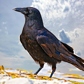 Crow on the beach by Sandy Scott - Digital Art Animals ( aggressive birds, crow on the beach, crow, blackbird, birds,  )