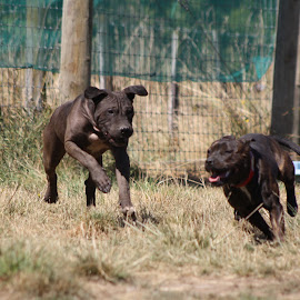 by Steph Scurr - Animals - Dogs Running