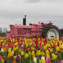 I see Pink in the field by Larry Peeler - Transportation Other ( field, nature, colorful, tulips, beauty, tractor )