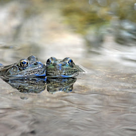 Frogs by Dawn Hoehn Hagler - Animals Amphibians ( desert museum, reflection, frog, arizona, tucson, amphibian )
