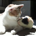 House cat & Guinea Pig