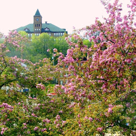 Springtime in Galena by Kathy Rose Willis - City,  Street & Park  Skylines ( pink flowers, galena, illinois, springtime, blossoms )