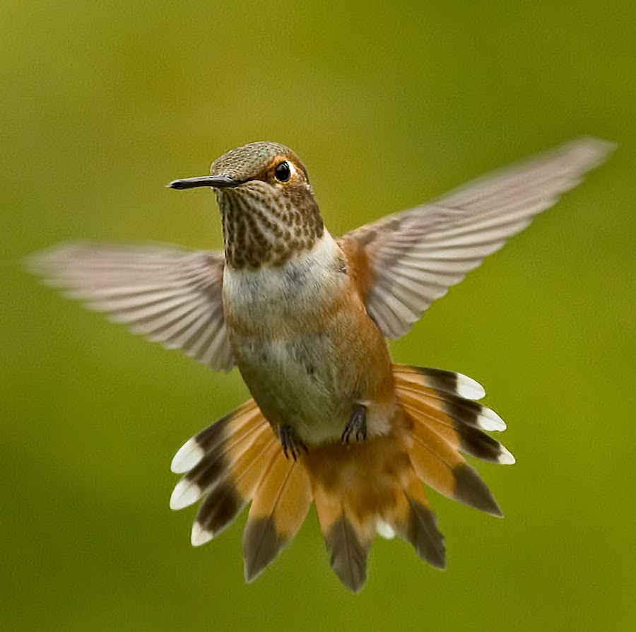 Rufus Hummingbird by Sheldon Bilsker - Animals Birds ( bird, park, nature, hummingbird, animal,  )