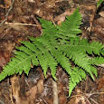 Ferns of Northeastern U.S.
