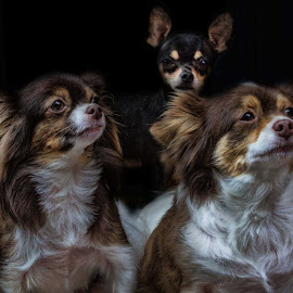 by Bruce Cramer - Animals - Dogs Portraits (  )