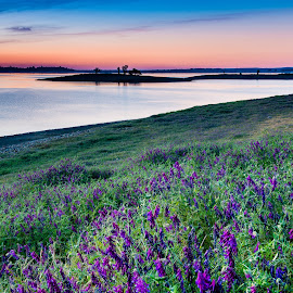 Lupine at Folsom Lake by Dan Bingham - Landscapes Prairies, Meadows & Fields (  )