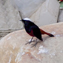White-capped Redstart