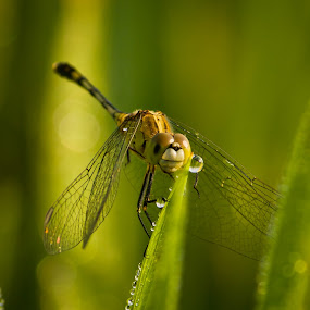 Dragon.... by Karthikeyan Chinnathamby - Animals Insects & Spiders ( nature, green, due, chinnathamby, south, india, travel, dragonfly, insect,  )