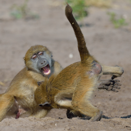 Morning fight by Tobie Oosthuizen - Animals Other Mammals ( playing, botswana, chobe national park, baboon, young )