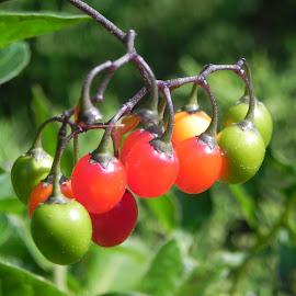 Bittersweet berries by Kathryn Nagelberg - Nature Up Close Trees & Bushes ( bittersweet berries )