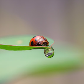 lady bug by Firmansyah Goma - Animals Insects & Spiders (  )