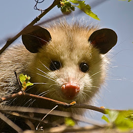 Mom's Watching You by Roy Walter - Animals Other Mammals ( opossum, animal. mammal, fur, other mammal, possum )