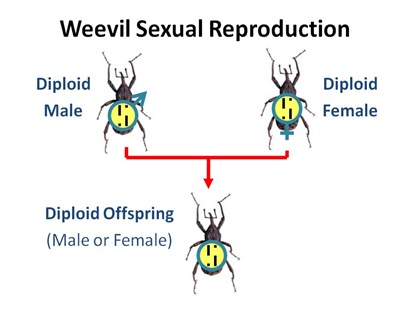 Weevil Sexual Repro