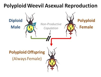 Weevil Asexual Repro